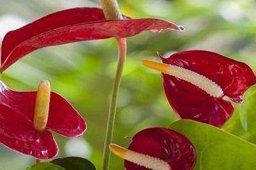 红掌烂叶有虫子?学会这一招,叶子油亮又厚实!