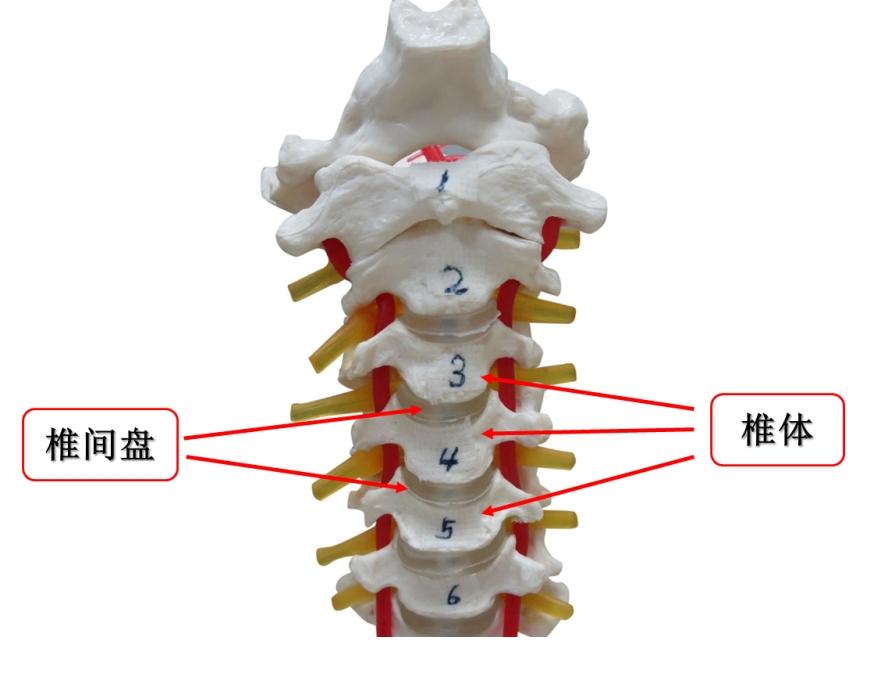 (颈椎的基本结构单元:椎体  椎间盘)