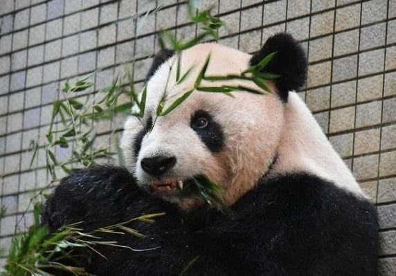 """全球首例!大陆赠台大熊猫""""团团"""" 装上""""牙套"""""""