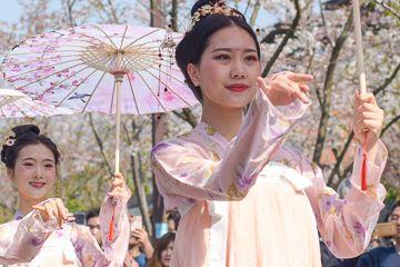 原创             扬州樱花大道一场汉服快闪惊艳众生,国人何必去日本穿和服拍樱花