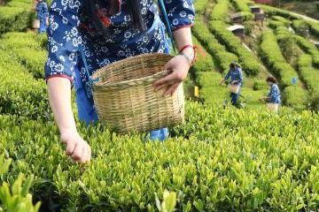 江西铜鼓:茶农忙采明前茶