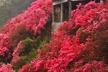 武汉云雾山,网红景点遇网红,却红不过满山映山红