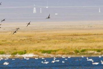甘肃阿克塞苏干湖迁徙候鸟聚集 鸟中熊猫黑鹳现湿地草原