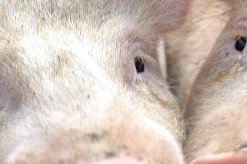 """跌不停!17日猪价跌破""""预警线"""",托市收储在即,猪价要涨翻天?"""
